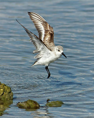 Photograph - Sanderling Coming In For A Landing by Dawn Currie