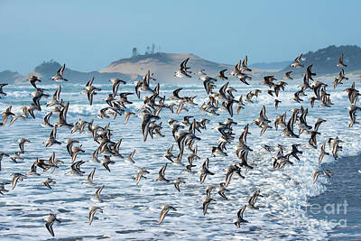 Photograph - Sanderling Fly By by Tim Moore
