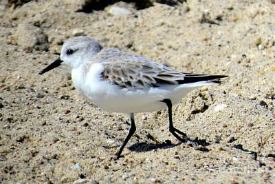 Photograph - Sanderling by Frank Townsley
