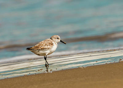 Photograph - Sanderling In The Sand by Patti Deters