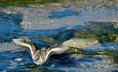 Photograph - Sanderling Lands by Craig Wood