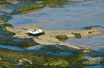Photograph - Sanderling One by Craig Wood