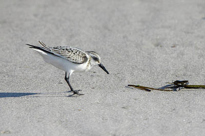 Photograph - Sanderling by Steve Gravano