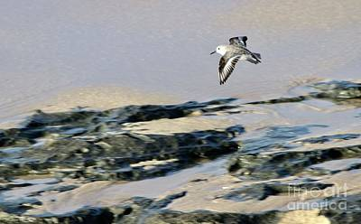 Photograph - Sanderling Two by Craig Wood