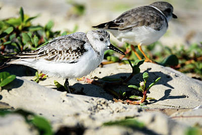Photograph - Sanderling With Piping Plover At Back by Debra Martz