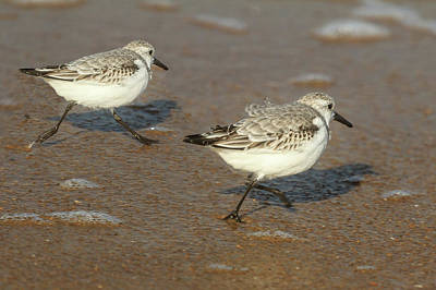 Photograph - Sanderlings Chasing The Waves by Joni Eskridge