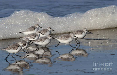 Photograph - Sanderlings by Gary Wing