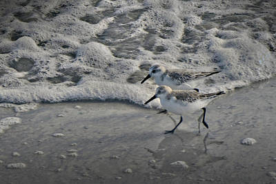 Photograph - Sanderlings Out For A Run by Steve Gravano