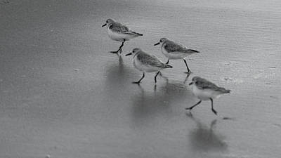 Photograph - Sanderlings Sprint Delray Beach Florida by Lawrence S Richardson Jr