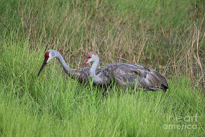 Photograph - Sandhill Adult With Juvenile by Carol Groenen
