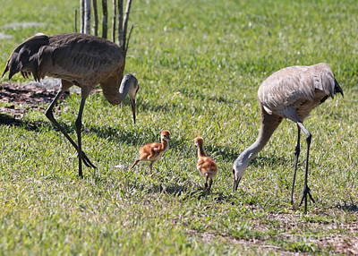 Photograph - Sandhill Chicks Together With Parents by Carol Groenen