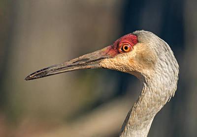 Photograph - Sandhill Close-up by Jim Zablotny