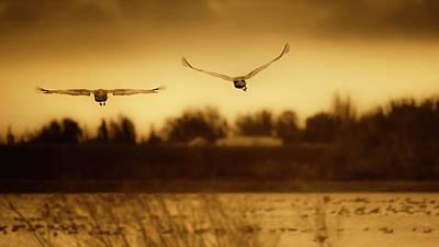 Photograph - Sandhill Crane 1 by Laura Macky