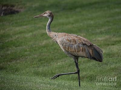 Photograph - Sandhill Crane - 11 by David Bearden