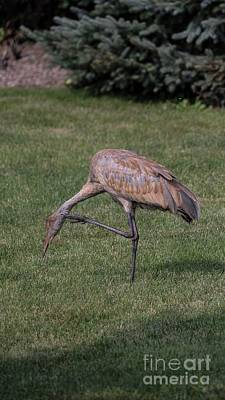 Photograph - Sandhill Crane - 12 by David Bearden