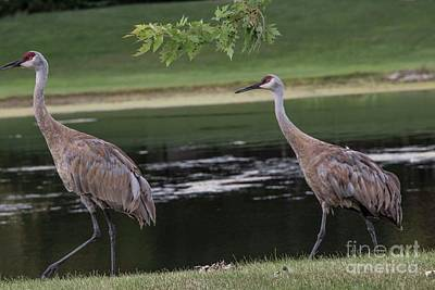 Photograph - Sandhill Crane - 2 by David Bearden