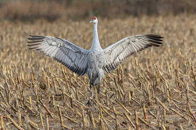 Photograph - Sandhill Crane 2017-5 by Thomas Young