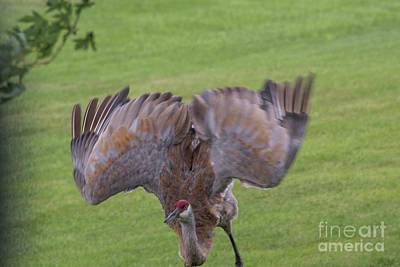 Photograph - Sandhill Crane - 3 by David Bearden