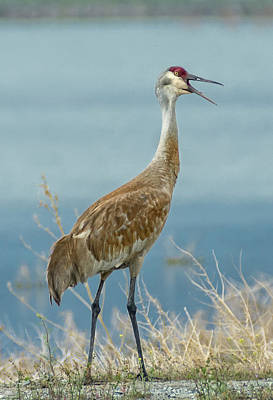 Photograph - Sandhill Crane 4 by Rick Mosher