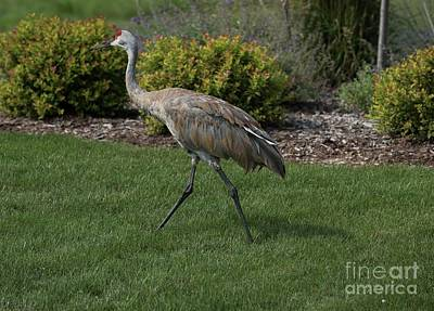 Photograph - Sandhill Crane - 6 by David Bearden