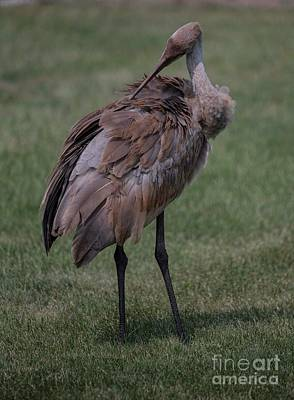 Photograph - Sandhill Crane - 8 by David Bearden