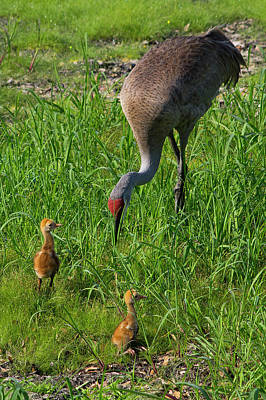 Sandhill Crane And Babies 2 Art Print by Richard Rizzo