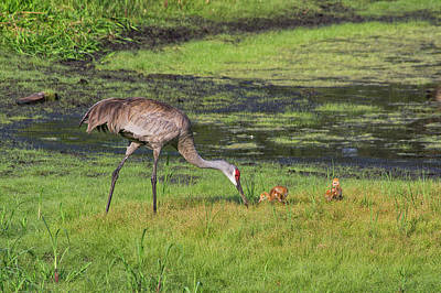 Sandhill Crane And Babies 3 Art Print by Richard Rizzo
