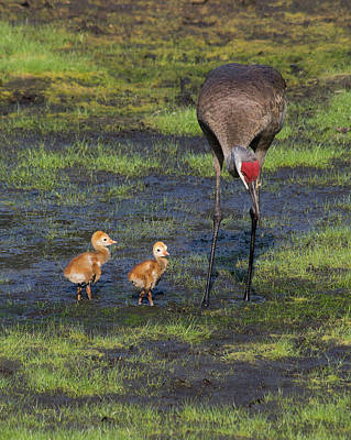 Sandhill Crane And Babies Art Print by Richard Rizzo