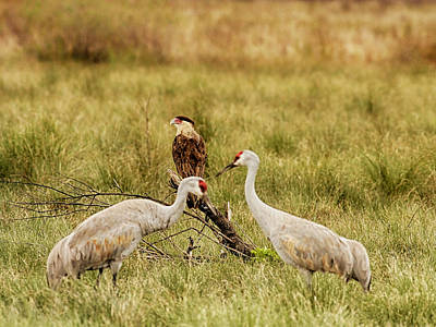 Photograph - Sandhill Crane And Caracara by Charles McKelroy