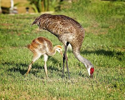 Photograph - Sandhill Crane And Colt by Ronald Lutz