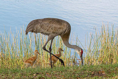Photograph - Sandhill Crane And Colts by Phil Stone