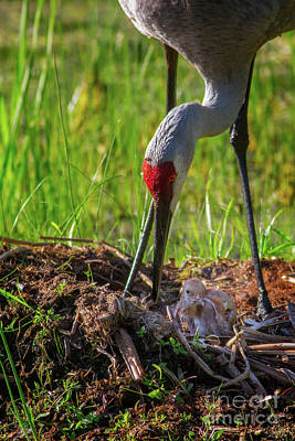 Winter Animals Rights Managed Images - Sandhill Crane and new chick Royalty-Free Image by Todd Bielby