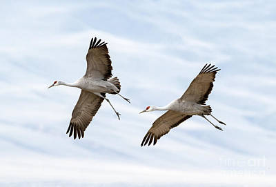 Crane Photograph - Sandhill Crane Approach by Mike Dawson