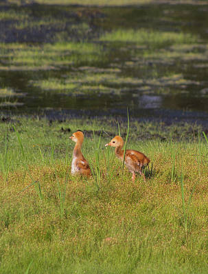 Sandhill Crane Babies Art Print by Richard Rizzo