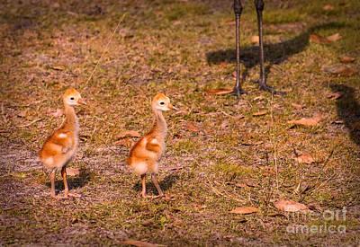 Crane Photograph - Sandhill Crane Chicks 2 by Zina Stromberg