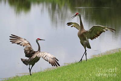 Photograph - Sandhill Crane Courtship Dance 1 by Carol Groenen