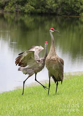 Photograph - Sandhill Crane Courtship Dance 10 by Carol Groenen