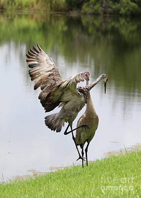 Photograph - Sandhill Crane Courtship Dance 11 by Carol Groenen