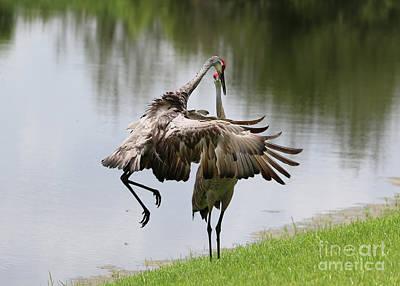 Photograph - Sandhill Crane Courtship Dance 12 by Carol Groenen