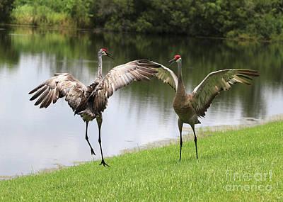 Photograph - Sandhill Crane Courtship Dance 14 by Carol Groenen