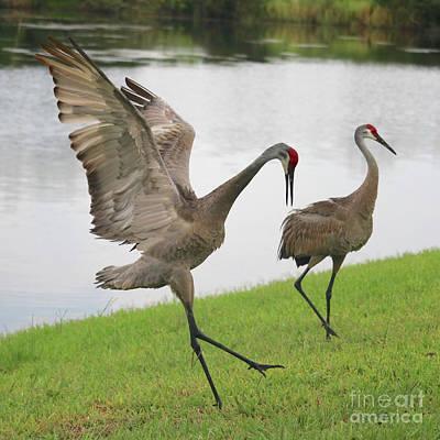 Photograph - Sandhill Crane Courtship Dance 17 by Carol Groenen