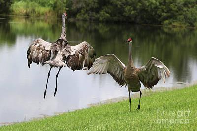 Photograph - Sandhill Crane Courtship Dance 3 by Carol Groenen