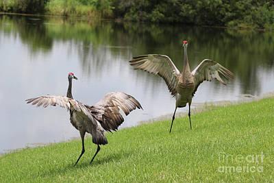 Photograph - Sandhill Crane Courtship Dance 4 by Carol Groenen