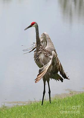 Photograph - Sandhill Crane Courtship Dance 5 by Carol Groenen