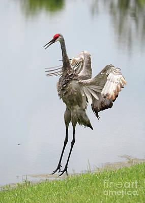 Photograph - Sandhill Crane Courtship Dance 7 by Carol Groenen