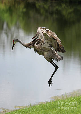 Photograph - Sandhill Crane Courtship Dance 8 by Carol Groenen