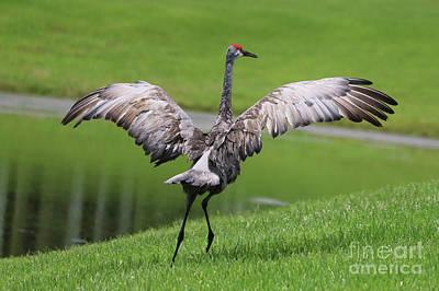 Photograph - Sandhill Crane Courtship Dance 9 by Carol Groenen