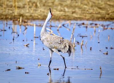 Photograph - Sandhill Crane Crooning by Lynn Hopwood