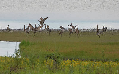 Photograph - Sandhill Crane Dispute by Loree Johnson
