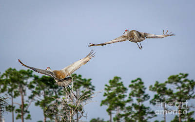 Photograph - Sandhill Crane Duo by Tom Claud